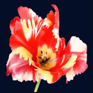 Crispa/Gefranjerde bloemvorm