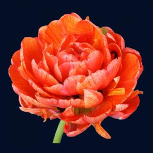 Pioenachtige tulpen